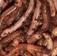 Manfaat cacing tanah bagi kesehatan